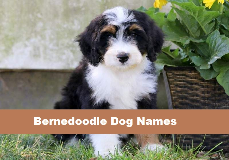 Bernedoodle Dog Names Male Female Ultimate List