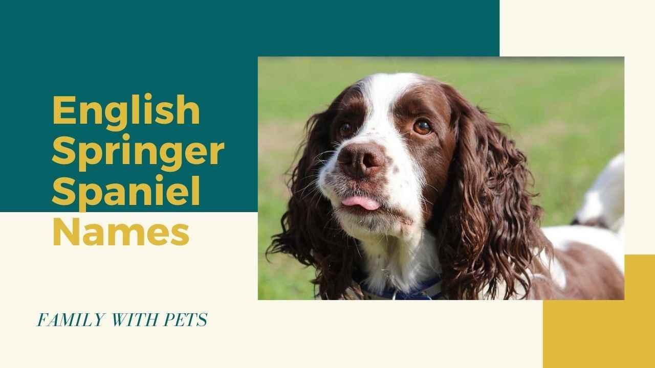 English Springer Spaniel Dog Names Male Female Ultimate List